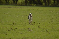 dog running Royaltyfri Foto