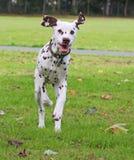 Dog running. Happy dalmatian puppy running across the grass royalty free stock photos
