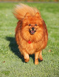 Dog running. Happy little pomeranian running very fast in the early morning sunlight on wet green grass Royalty Free Stock Image