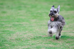 Dog running Royalty Free Stock Image