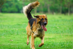 Dog running Stock Images