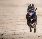 Dog galloping across a beach with front legs off the ground. A dog running across a sandy beach with front legs of the ground Royalty Free Stock Photo