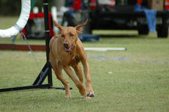 Dog running in agility. An active Rhodesian Ridgeback dog having private agility training royalty free stock photo