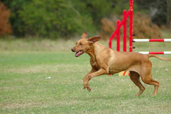 Dog running in agility. An active Rhodesian Ridgeback dog having private agility training royalty free stock image