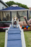 Dog running on agility course Royalty Free Stock Image