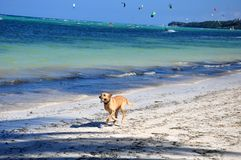 Dog running along the beach Royalty Free Stock Images