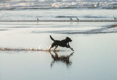 Dog is running Royalty Free Stock Image