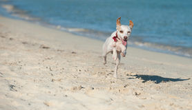 Dog running along the seashore. A dog caught in mid-air running along the seashore Royalty Free Stock Photography
