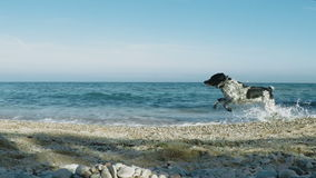 Dog running along the seashore stock footage