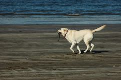 Dog running along the shore Royalty Free Stock Image