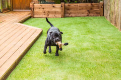 Dog running on artifical grass by decking with a toy in his mout. Black Staffordshire bull terrier dog running and playing on artificial grass by decking in a Royalty Free Stock Photo