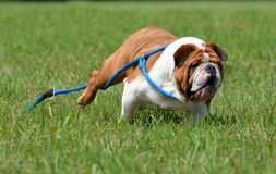 Dog running away Royalty Free Stock Image