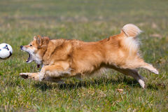 Dog running after ball. Dog in air running at full speed after a ball Royalty Free Stock Image