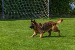German Shepherd playing with a ball Royalty Free Stock Images