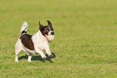 Dog running with ball stock image
