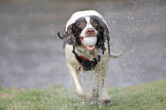 Dog running with ball royalty free stock image