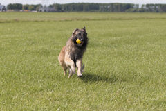 Dog running with ball in mouth Stock Images