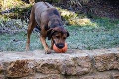 Dog running for ball, Rhodesian Ridgeback 3 Stock Image