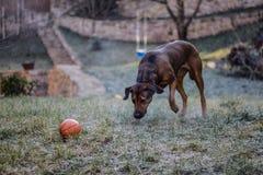 Dog running for ball, Rhodesian Ridgeback 2 Stock Images