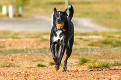 Dog running with a ball. A dog running with a tennis ball stock photo