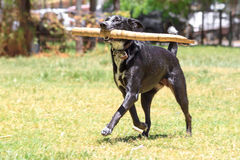 Dog running with a bamboo. A dog running with a piece of bamboo royalty free stock photos