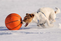 Dog running with basketball ball at high speed. Jack Russell Terrier playing on snow Royalty Free Stock Images