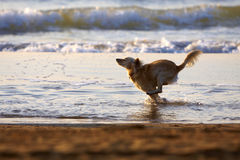 Dog running on the Beach Stock Photography