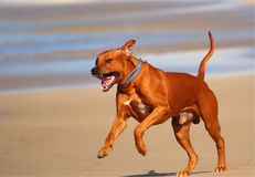 Happy dog running on beach Stock Photography