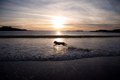 Dog running on a beach Stock Photos