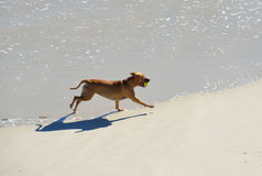 Dog Running  at Beach. Cute dog playing with a ball at the beach Stock Images