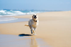 Dog running on a beach Royalty Free Stock Image