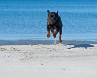A dog running on a  beach Stock Photos