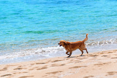 Dog running at a beach. A dog running at a beach Stock Photography