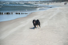 Dog running on beach. A dog running on the beach Royalty Free Stock Image