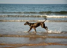 Dog running on the beach. North Sea stock images