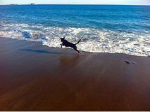 Dog running on beach Royalty Free Stock Photo
