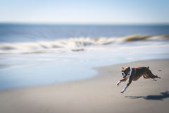 Dog Running on Beach stock image