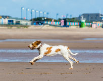 Dog running on beach Royalty Free Stock Image