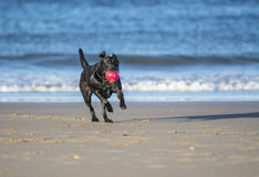 Dog running on beach carrying ball. Black labrador dog running towards camera on the beach carrying a ball Royalty Free Stock Photo