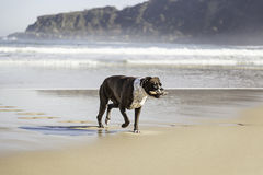 Dog running on the beach Royalty Free Stock Image