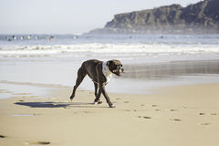 Dog running on the beach Royalty Free Stock Photography