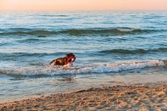 Dog playing on the beach, dog running on the beach, big dark dog on the coast. Dog running on the beach, dog playing on the beach, big dark dog on the coast Royalty Free Stock Photography