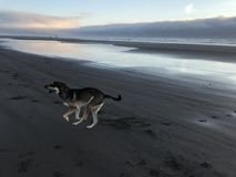 Dog running on beach stock images