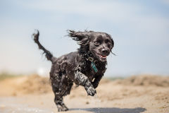 Dog running on the beach Stock Images