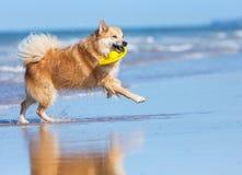 Dog running on the beach Stock Photo