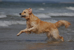Dog running on the beach. A dog is running on the beach, he is jumping in de ocean Royalty Free Stock Photography