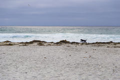 Dog running on beach in Monterey Grove, California, US Stock Photos