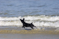 Dog running on the beach. Dog running and playing on waves at the beach in Brazil Royalty Free Stock Image