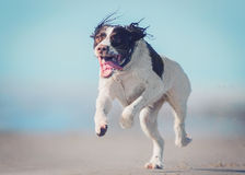 Dog running on beach stock photos