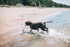 Dog running on the Beach with a Stick. American staffordshire terrier stock photos